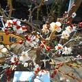写真: 白梅が咲き始めました