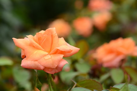 アンネの薔薇