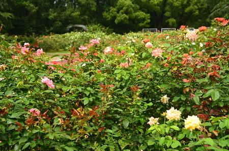 誰も居ない薔薇園