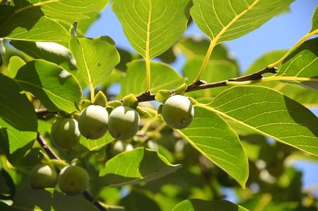 豆柿(マメガキ)