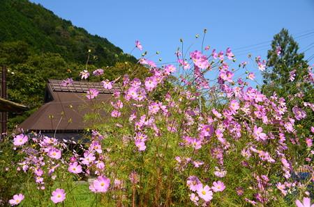 秋桜咲く大原の里