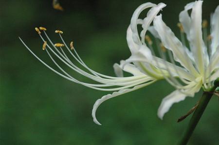 白花彼岸花(シロバナヒガンバナ)