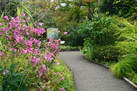 秋明菊咲く小径