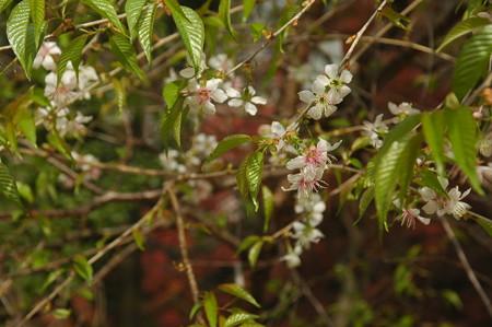 ヒマラヤ桜