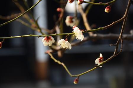 ちらほら咲きの白梅