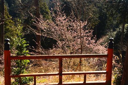 寒桜満開~~~