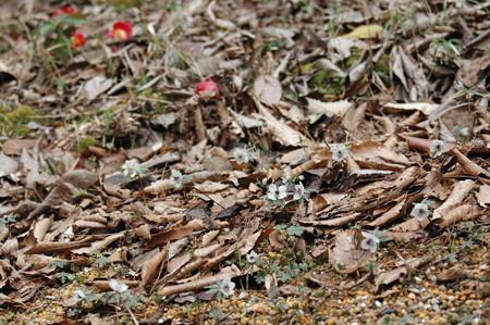 節分草と  散り椿