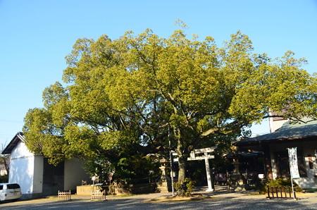 闘鶏神社の大楠