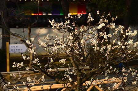 庭園入口の白梅