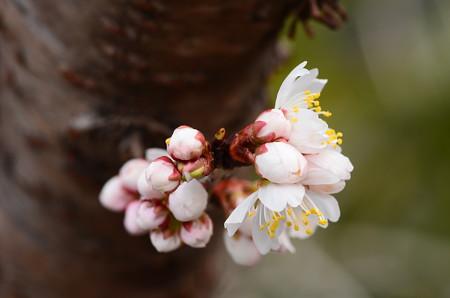唐実桜咲く