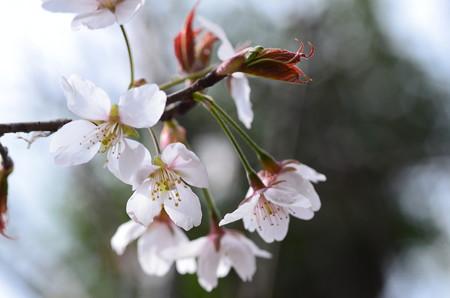 地主神社前の桜