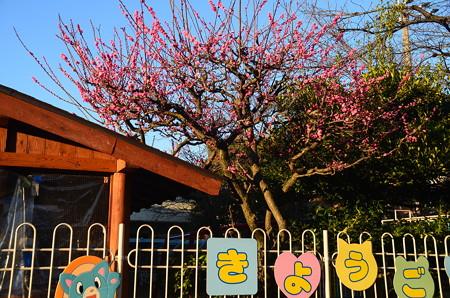 京極幼稚園の紅梅