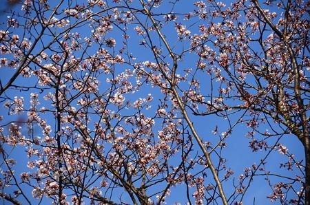 山桜はもう5分咲き近い~