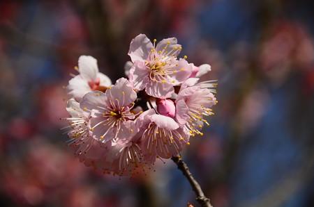 唐実桜(カラミザクラ)?