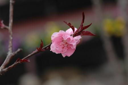 赤葉桃(  アカバモモ)