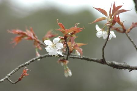 山桜(ヤ  マザクラ)
