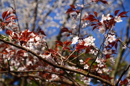 近衛邸跡の山桜
