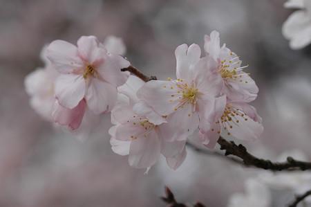 東海桜(  トウカイザクラ)