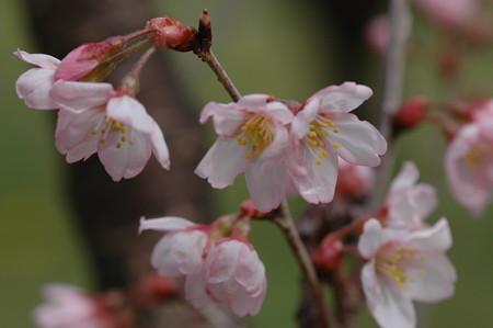 啓翁桜(  ケイオウザクラ)