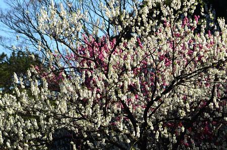 児童公園の花桃