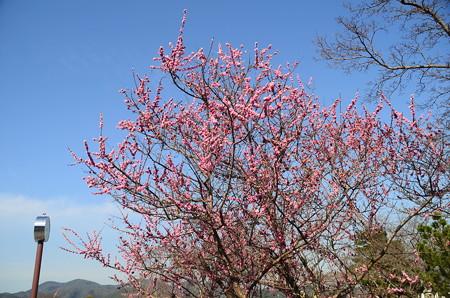 中ノ島公園の梅
