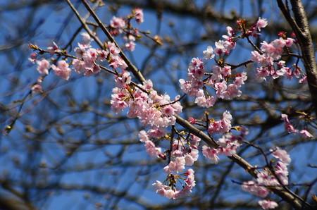 法輪寺参道の桜