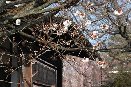 妙見宮脇の山桜