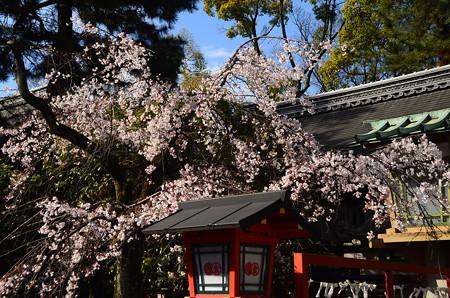 安井金比羅宮の枝垂れ桜