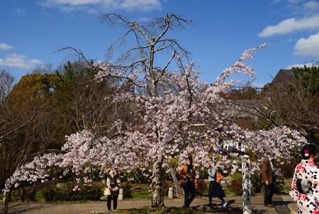 春の円山公園