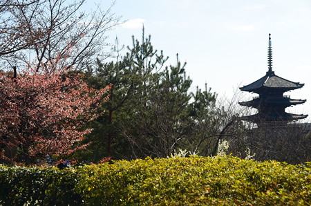 八坂の塔と山桜