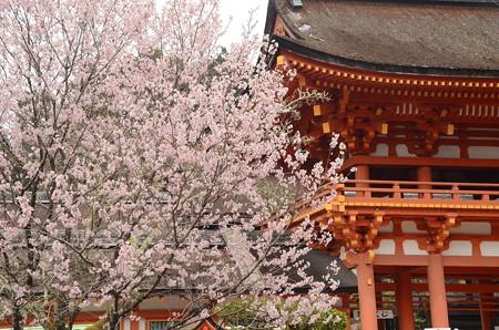 楼門前の桜