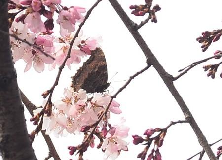 枝垂れ桜に止まるヒオドシチョウ