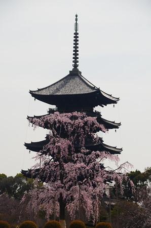 五重塔と  不二桜