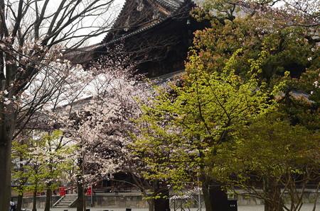 金堂前の  桜