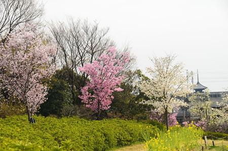 三色の桜と東寺の塔