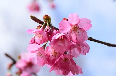 ヨコハマヒザクラ(横浜緋桜)1