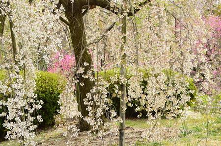 枝垂れ桜と花桃