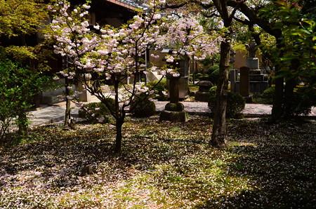 染井吉野散る安楽壽院