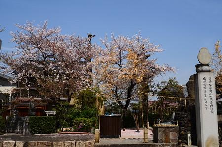 北向山不動院の桜
