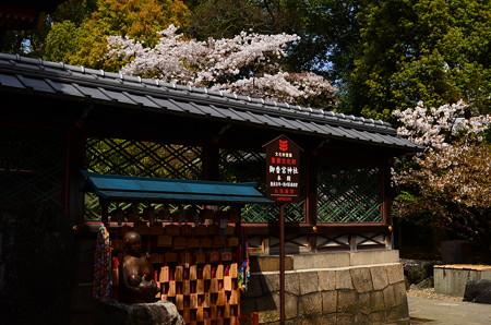本殿脇の桜