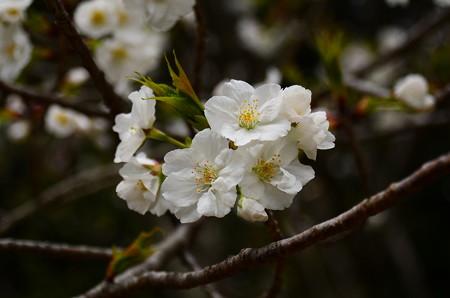 池脇の桜 1