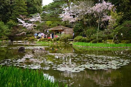 蒼龍池を彩る桜