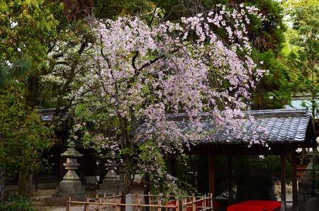 上御霊神社の八重紅枝垂れ