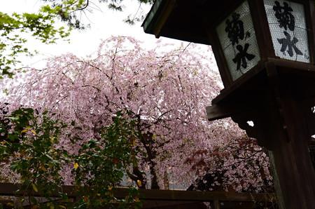 南禅寺菊水の八重紅枝垂れ