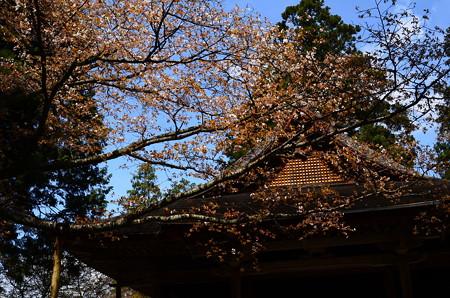 往生極楽院前の山桜