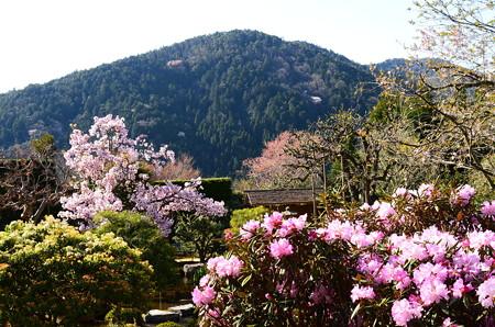 桜と石楠花咲く実光院