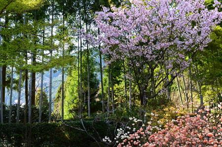桜と三椏と竹林