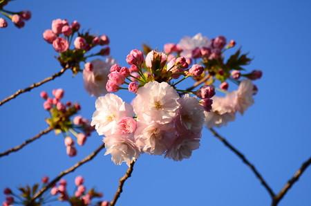咲き始めた松月(ショウゲツ)