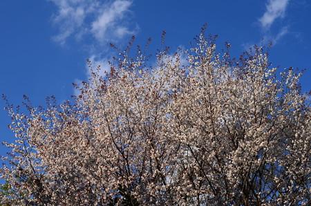山桜のお見送り