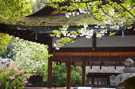 平野神社の桜達
